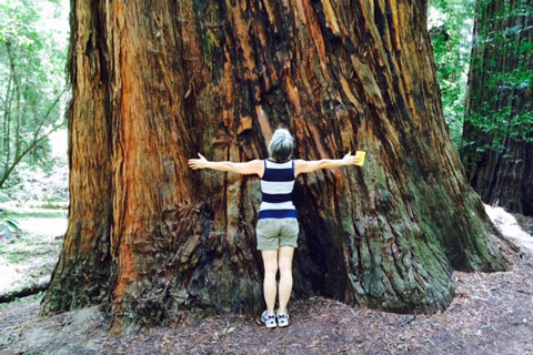 Redwood tree at Hendy Woods State Park, CA